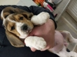 Beagle Puppies Ready Now