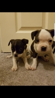 Cute male and female Boston Terrier Puppies