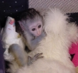 Male  Female Babies Capuchin,Marmoset, Squirrel  Spider monkeys for adoption