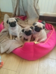 Pug Puppies available and ready to go