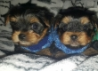 Yorkshire terrier Puppies.