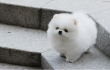 Tiny Pomeranian puppies ready