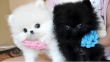 Extremely Doll face MICRO -Teacup -Pomeranian Puppies