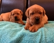 Chunky Fox Red Labrador Puppies