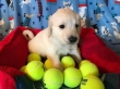 AKC Reg Golden Retriever Puppies