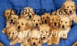 Playful temperament Golden Retriever puppies
