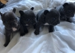 Fantastic French Bulldog Puppies