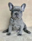 Pure breed french bulldog