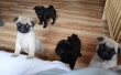 Female Pug Puppies, just 3 left! -100% Healthy and House trained