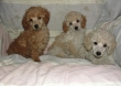 Red,gold,chocolate,black,yellow and white Standard,Miniature and toy Poodles