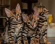 Little-Bengal-Babies