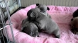 Akc Blue Eyes French Bulldog babies Available