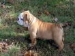 Affordable English bulldog puppies for Adoption in USA. 862 243-8086
