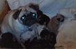 Kc-Reg-Black-and-fawn-Pug-puppies-Ready-To-Go-