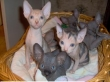 Adorable-Sphynx-Kittens-Available-
