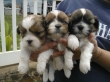 SHIH TZU PUPPIES RAEDY TO GO.