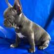 Gorgeous Frenchies Ready For Rehoming