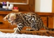 Vaccinated-Bengal-kittens-looking-for-a-family
