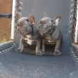 Stunning Blue French Bulldogs For Re-homing