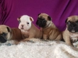 Stunning Litter Kc Show Quality French Bulldogs