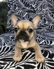 Black , White ,Fawn French bulldog Puppies