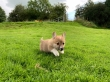 Welsh Pembroke Corgi Puppies For Their Forever Homes