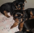 Beautiful Pedigree Yorkshire Terrier Puppies