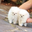 Teacup Pomeranian puppies now available.