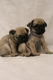 Pug Puppies Ready To Leave Immediately