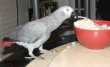 Red Tail Congo African Grey Parrots