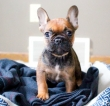 11 weeks French bulldog