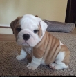 Super adorable English Bulldog puppies.
