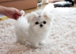 Cutest T-Cup Maltese