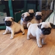 5 beautiful pugs for rehoming