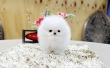 T- Cup Pomeranian Puppies For Good Homes