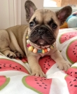 French Bulldog Puppies awaits new homes