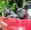 Beautiful and best French Bulldog Puppies For good homes