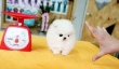 Ice White Pomeranian Puppies For Good Homes