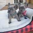 Adorable Healthy French Bulldog Puppies