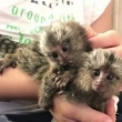 SUPER CUTE MARMOSET MONKEYS AVAILABLE .