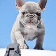 White ,Brown and Blu French Bulldog puppies for sale