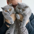 Beautiful-and-healthy-British-short-hair-kittens-for-rehoming