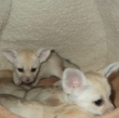 Male-And-Female-Fennec-Fox-And-Other-Exotic-Pet-Animals-For-Sale