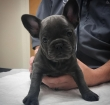 Adorable healthy french bulldog puppies for rehoming