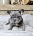 Playful Blue Male French Bulldog
