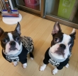 healthy Boston terrier  Puppies for rehoming