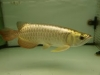 24k golden cross back arowana fish