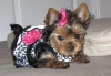 Healthy Tea Cup Yorkshire Terrier Puppies For Adoption!!!!!!!!!