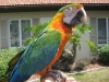 Lovely speaking home blue and gold macaw parrots