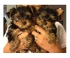 Cute  and Adorable Tea Cup  Yorkie  Puppies For Adoption